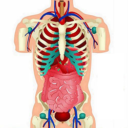 دانلود مجموعه وکتور اعضا و احشاء داخلی بدن انسان